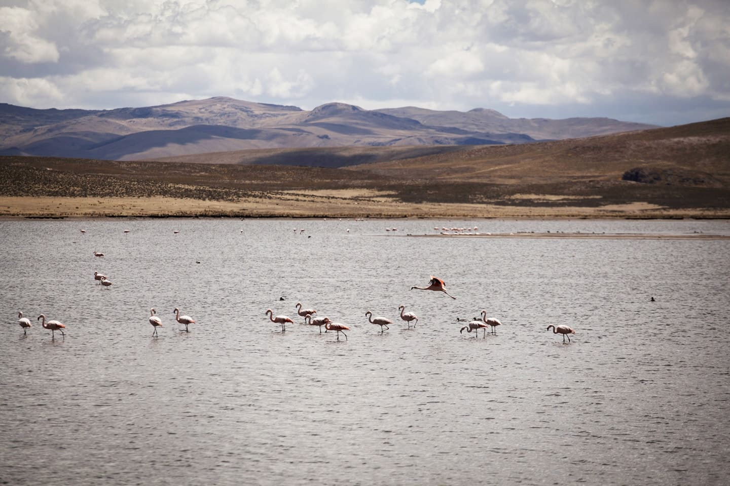 Alpacas in the plateau of Peru visting with Bus 4M Express